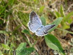 オオルリシジミ メス(望月千恵さん撮影)