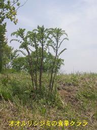 オオルリシジミの食草クララ