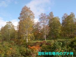 混牧林牧場内のブナ林