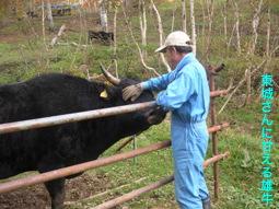 東城さんに甘える雄牛