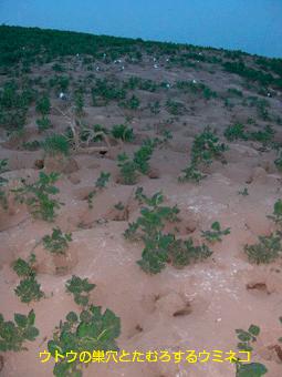 ウトウの巣穴とたむろするウミネコ